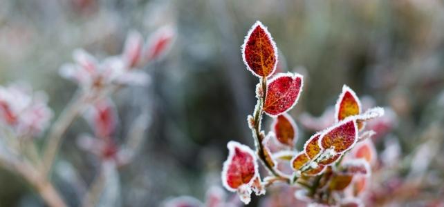 Månadens bild: Frostiga blåbärsblad