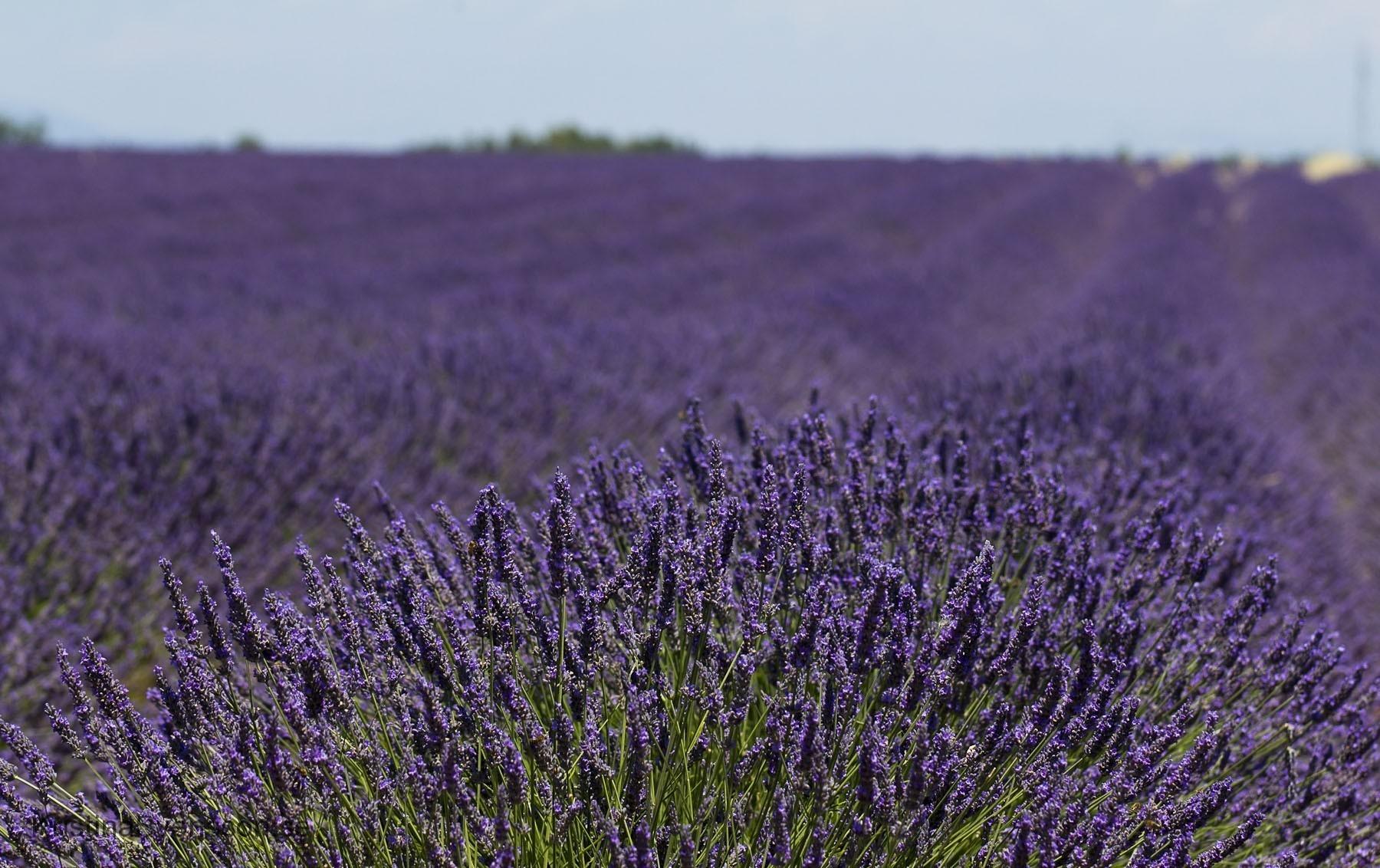 juli 2015 lavendelfält i Provence
