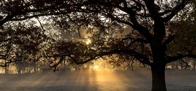 Månadens bild: Mäktig ek, soluppgång och morgondimma