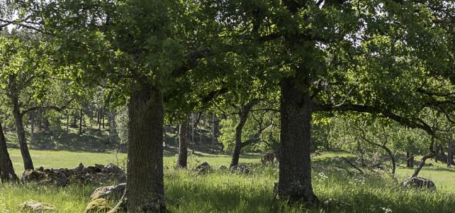 Månadens bild: ekar i Täby