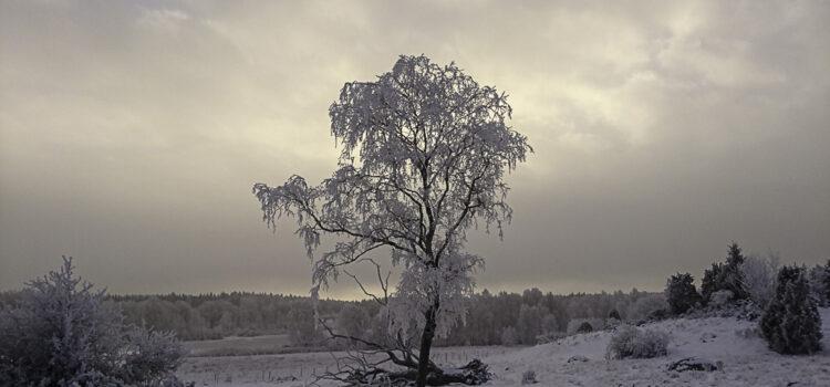 Månadens bild januari 2019: rimfrostigt träd i motljus