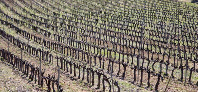 Månadens bild: rader av vinrankor i Provence