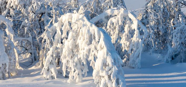 Februari 2021: Snötyngda fjällbjörkar i Funäsfjällen
