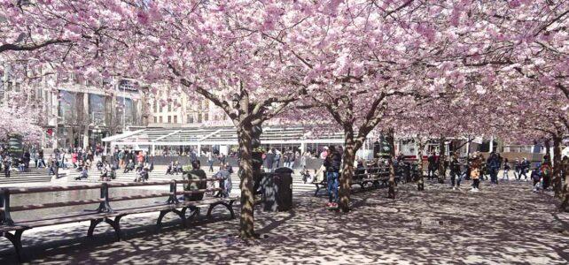 Månadens bild: Körsbärsträden i Kungsträdgården