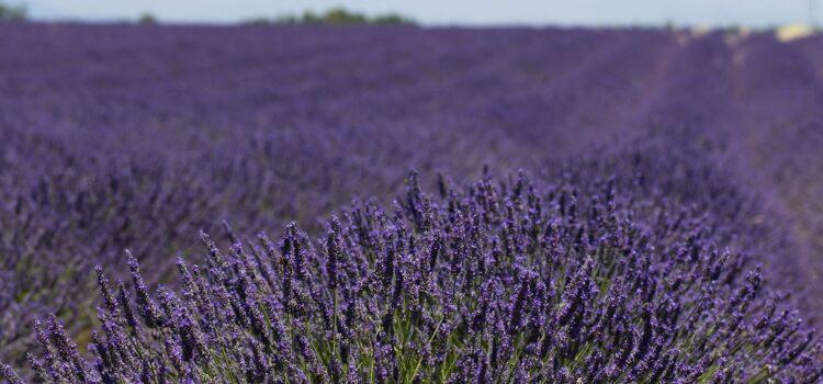 Månadens bild: lavendelfält i Provence